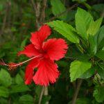 El Hibiscus rosa sinensis tiene flores de diversos colores
