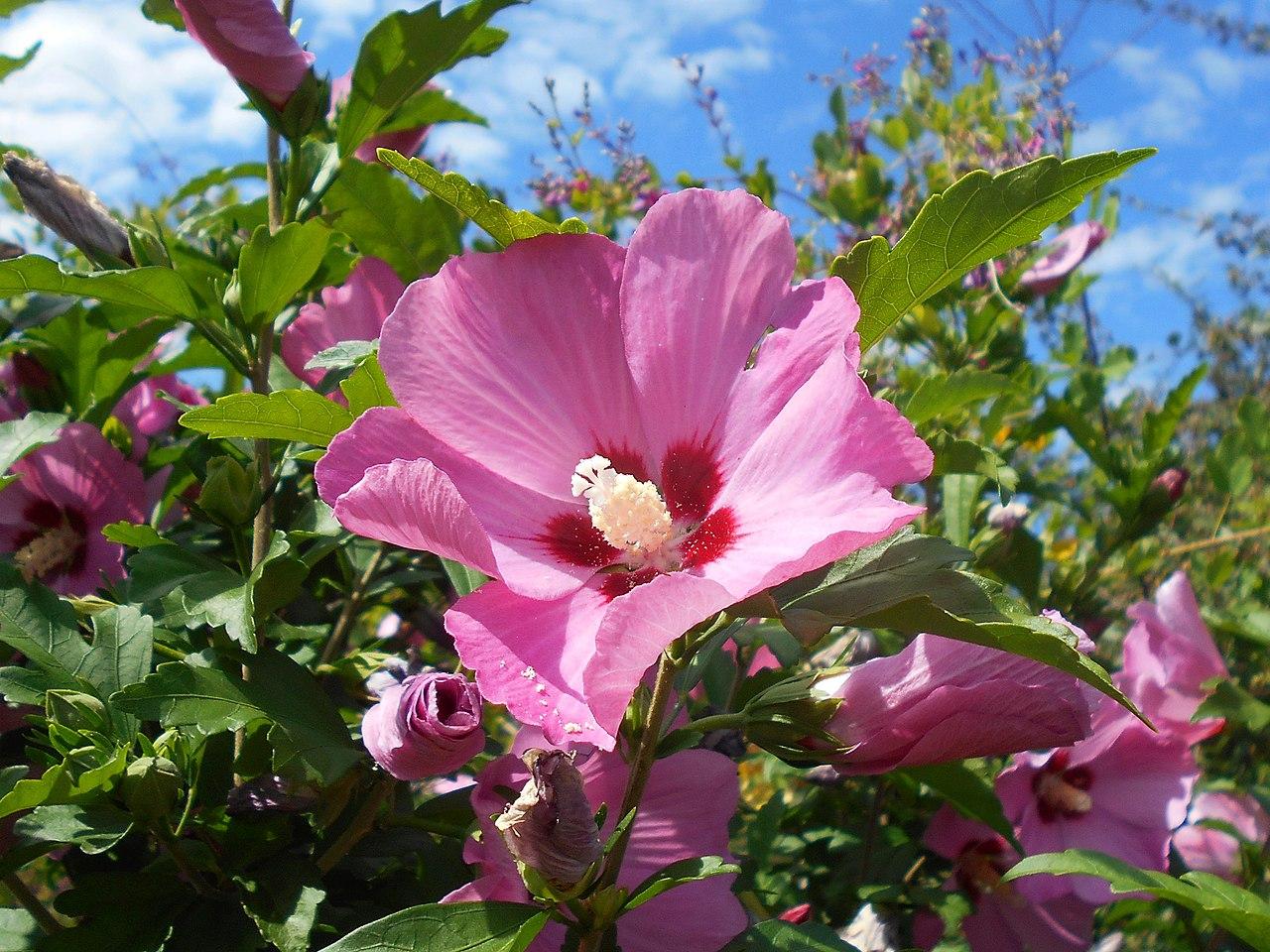El Hibiscus syriacus es un arbolito caducifolio