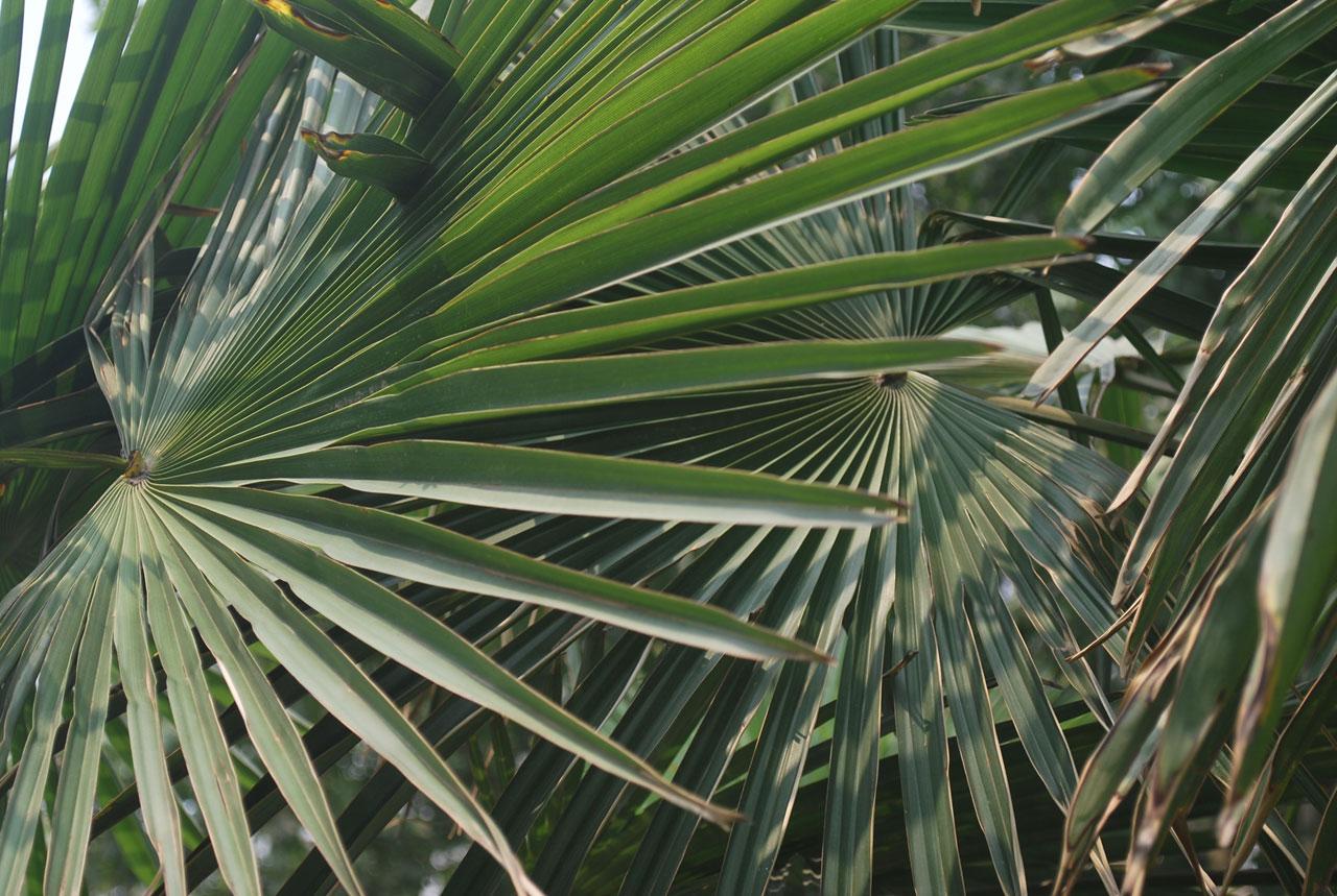 Hay palmeras que son muy grandes