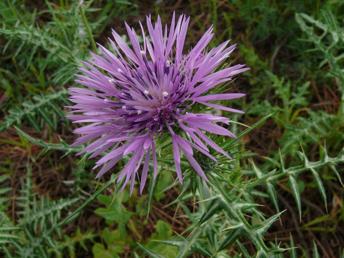 imagen de cerca de la flor morada de un arbusto