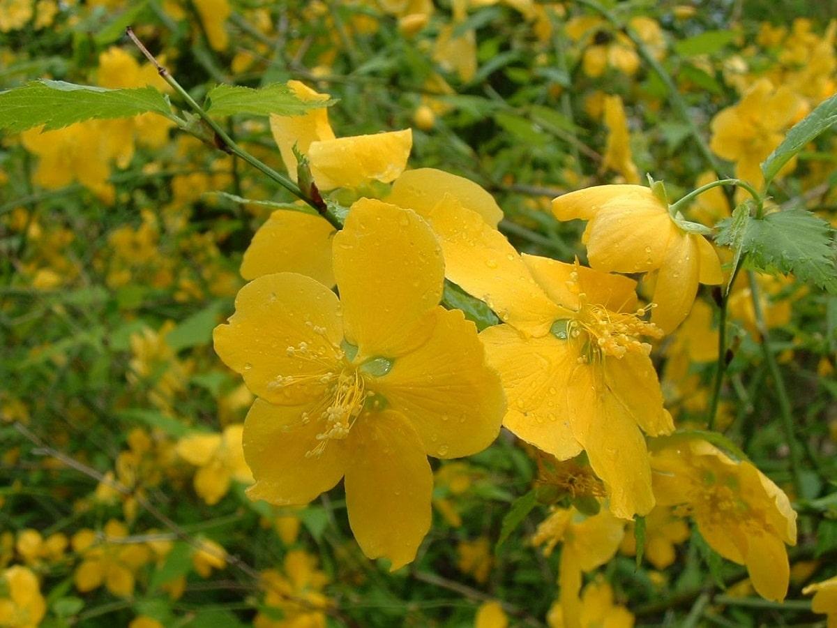 imagen de la Kerria japónica de cerca