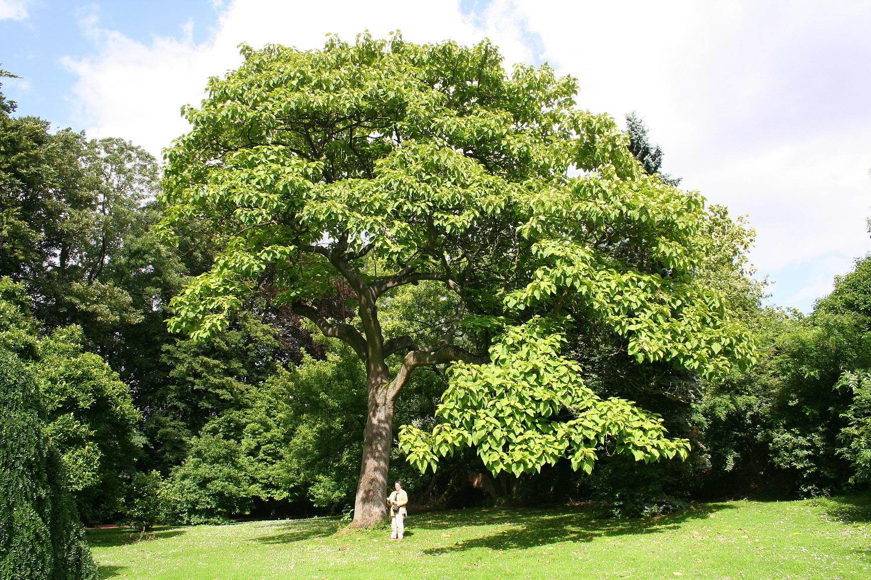 El kiri es un árbol frondoso