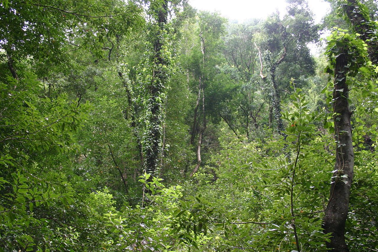 La laurisilva es un bosque frondoso