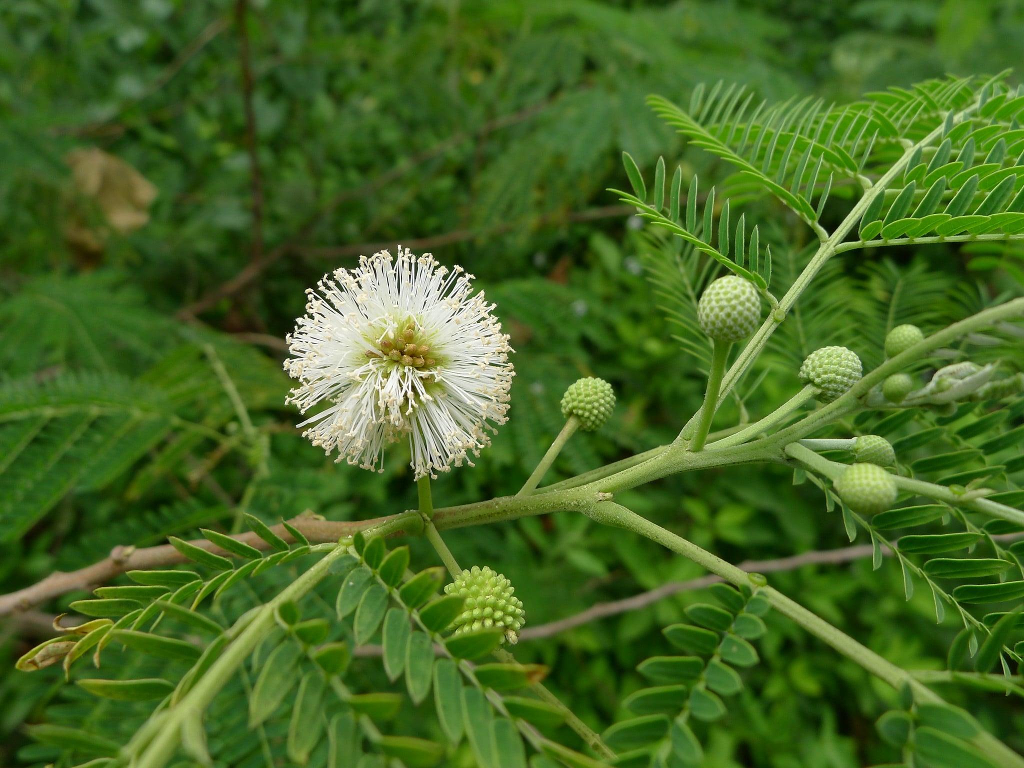 Las Leucaena son árboles de crecimiento rápido
