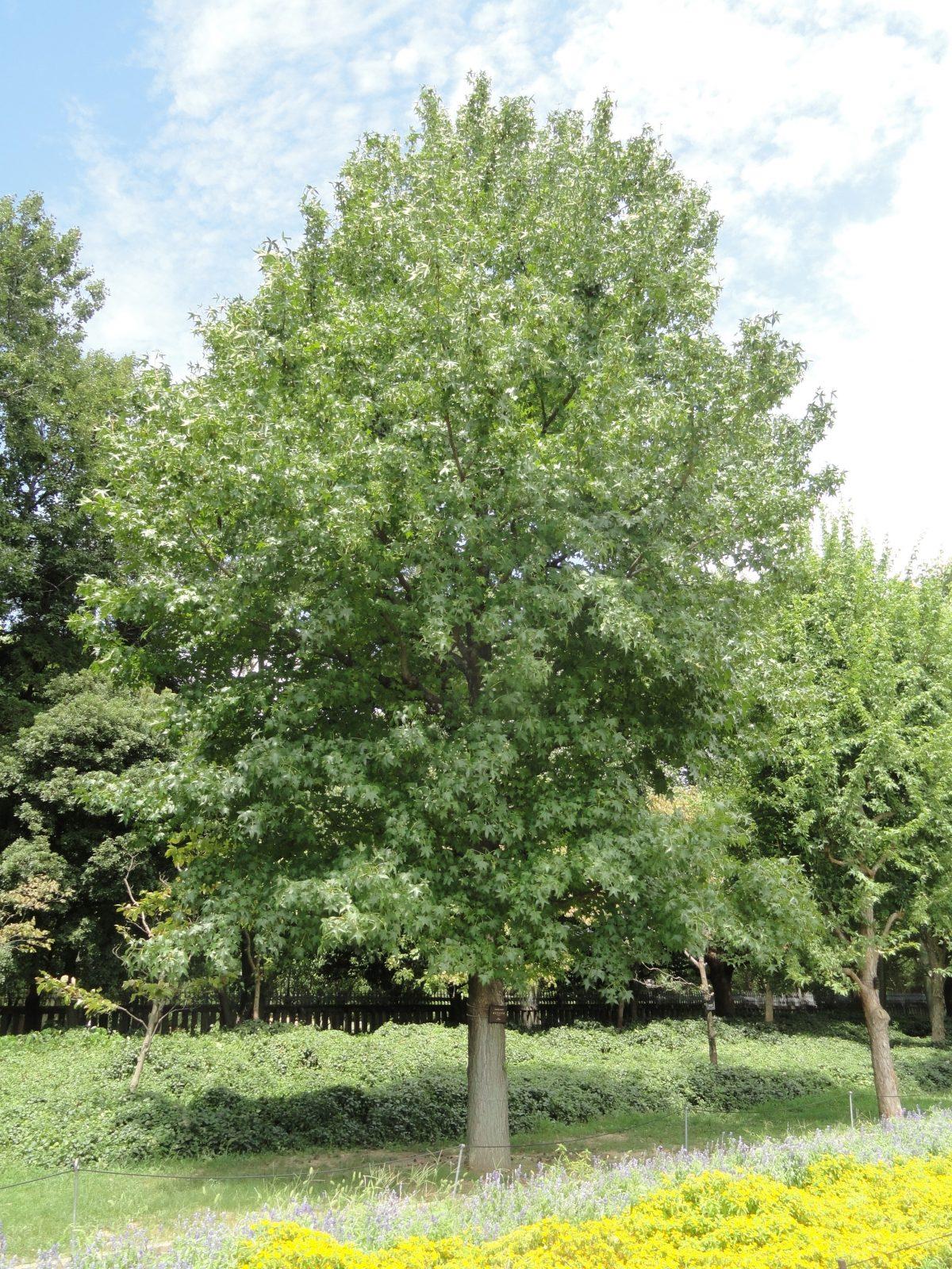 El liquidambar es un árbol caducifolio