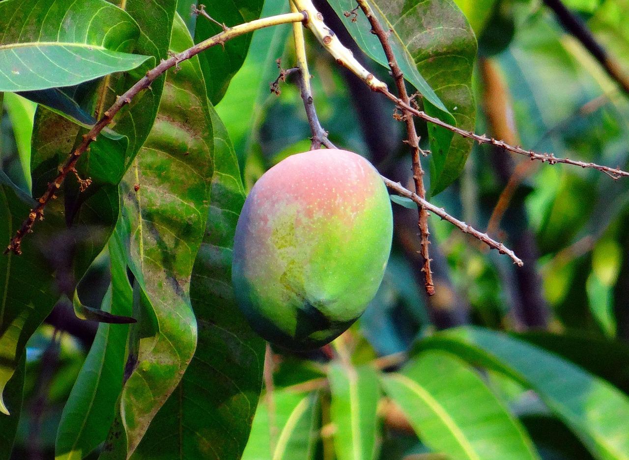 El mango es un árbol tropical que precisa riegos frecuentes