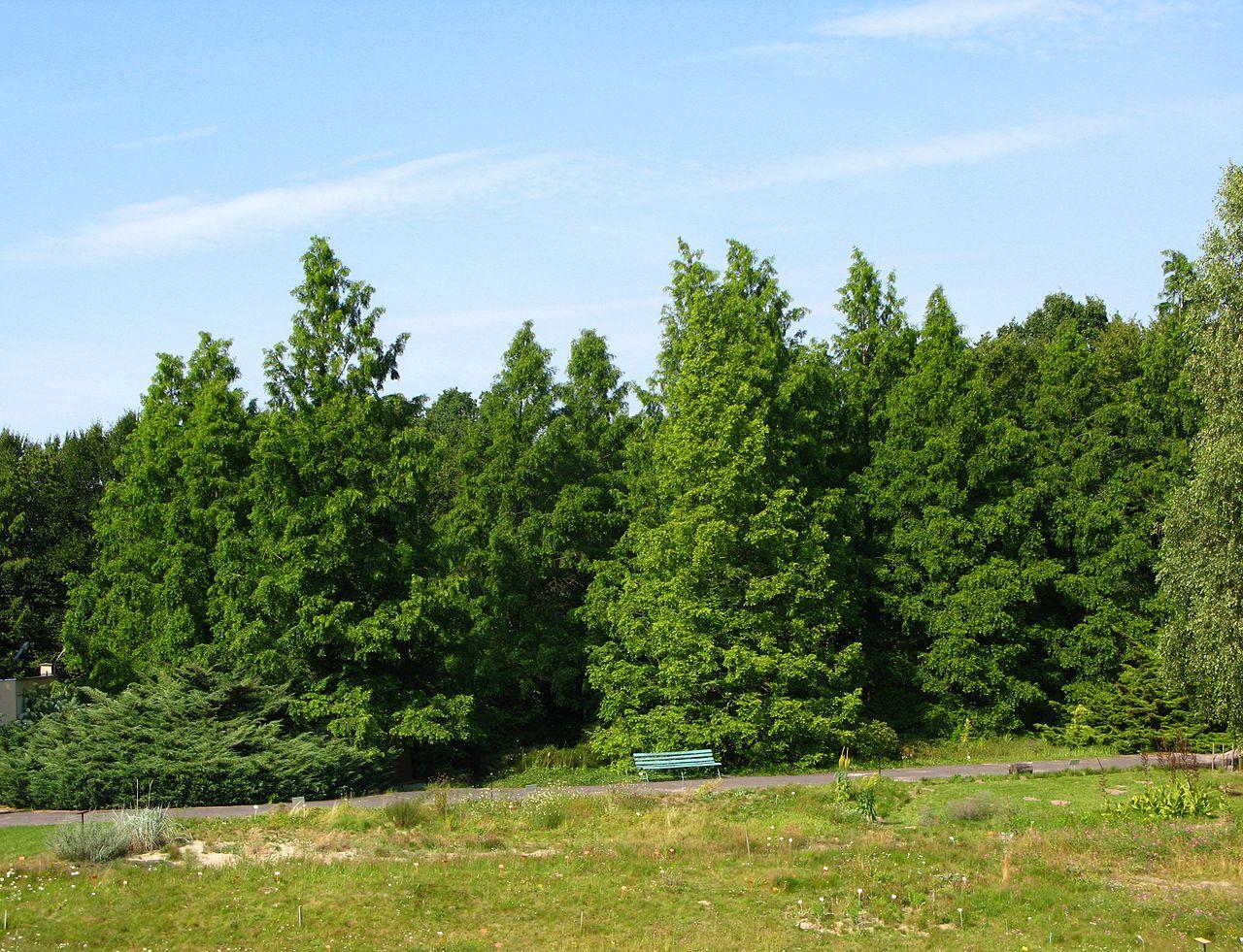La Metasecuoya es una conífera caducifolia