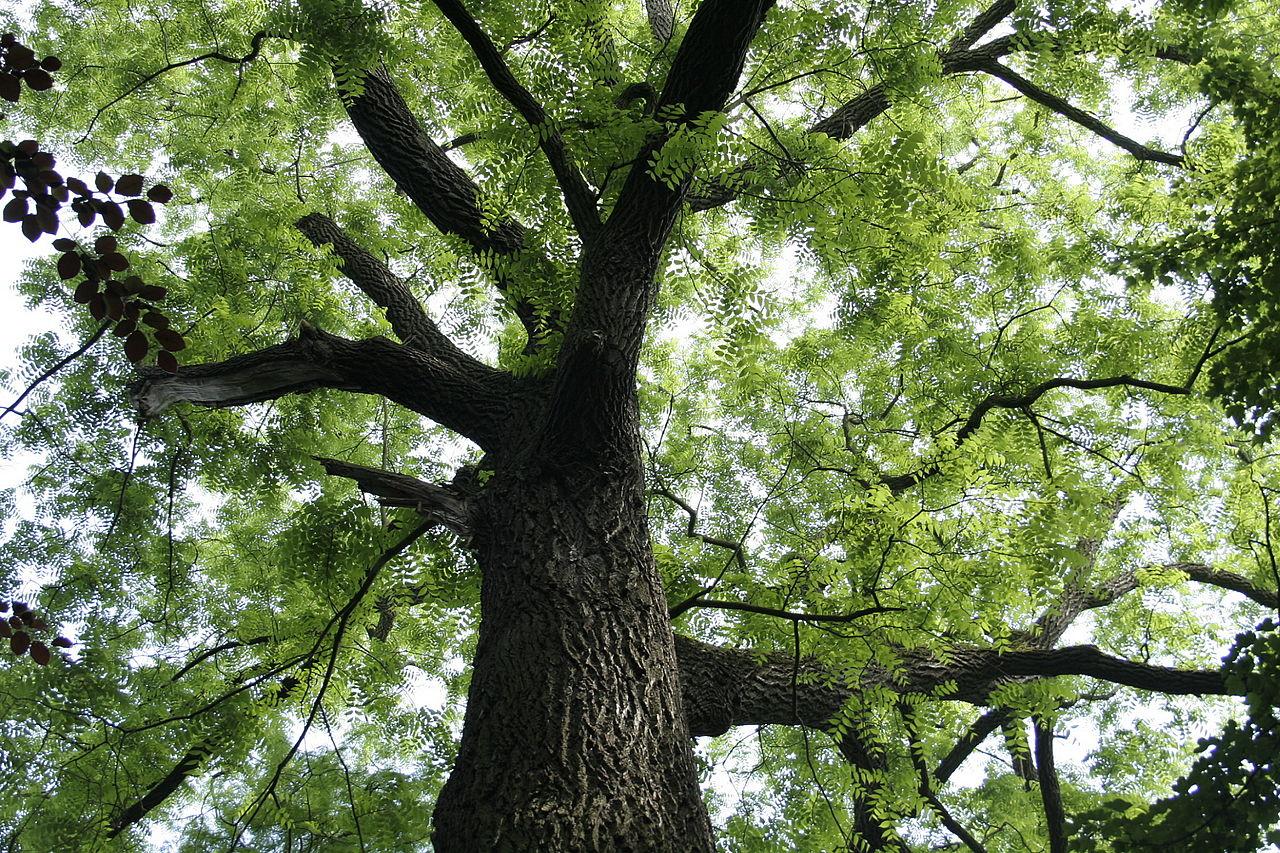 El nogal negro es un árbol grande
