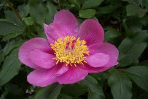 La Paeonia broteri es una planta de flores rosas