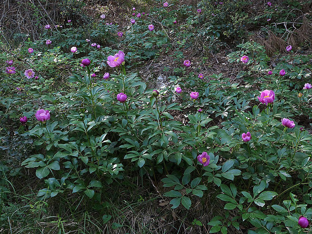 La Paeonia coriacea vive en sombra