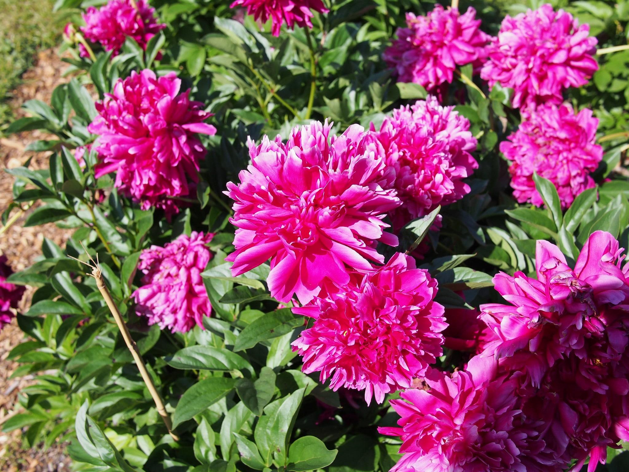 La peonía Karl Ronsefield produce flores rosas