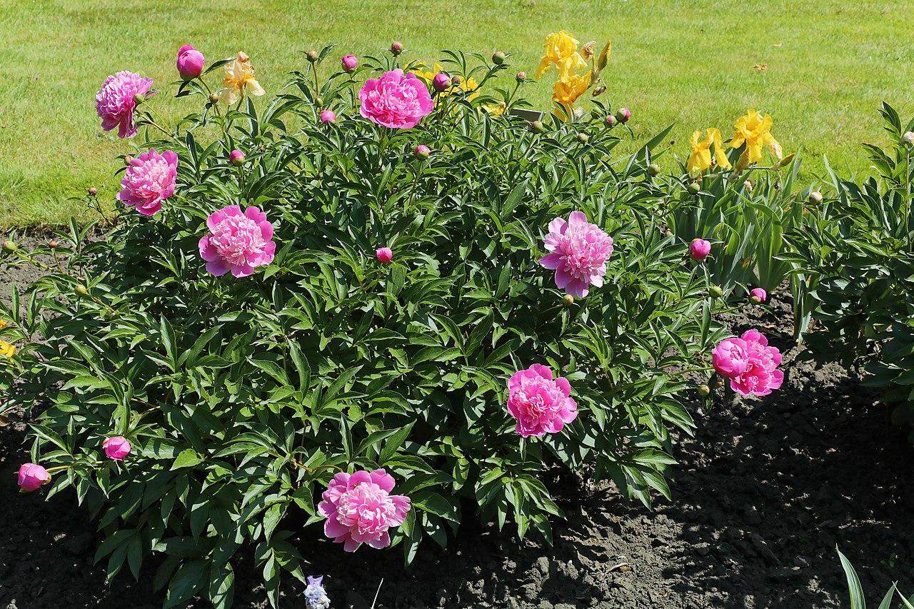 La Paeonia lactiflora es una planta perenne