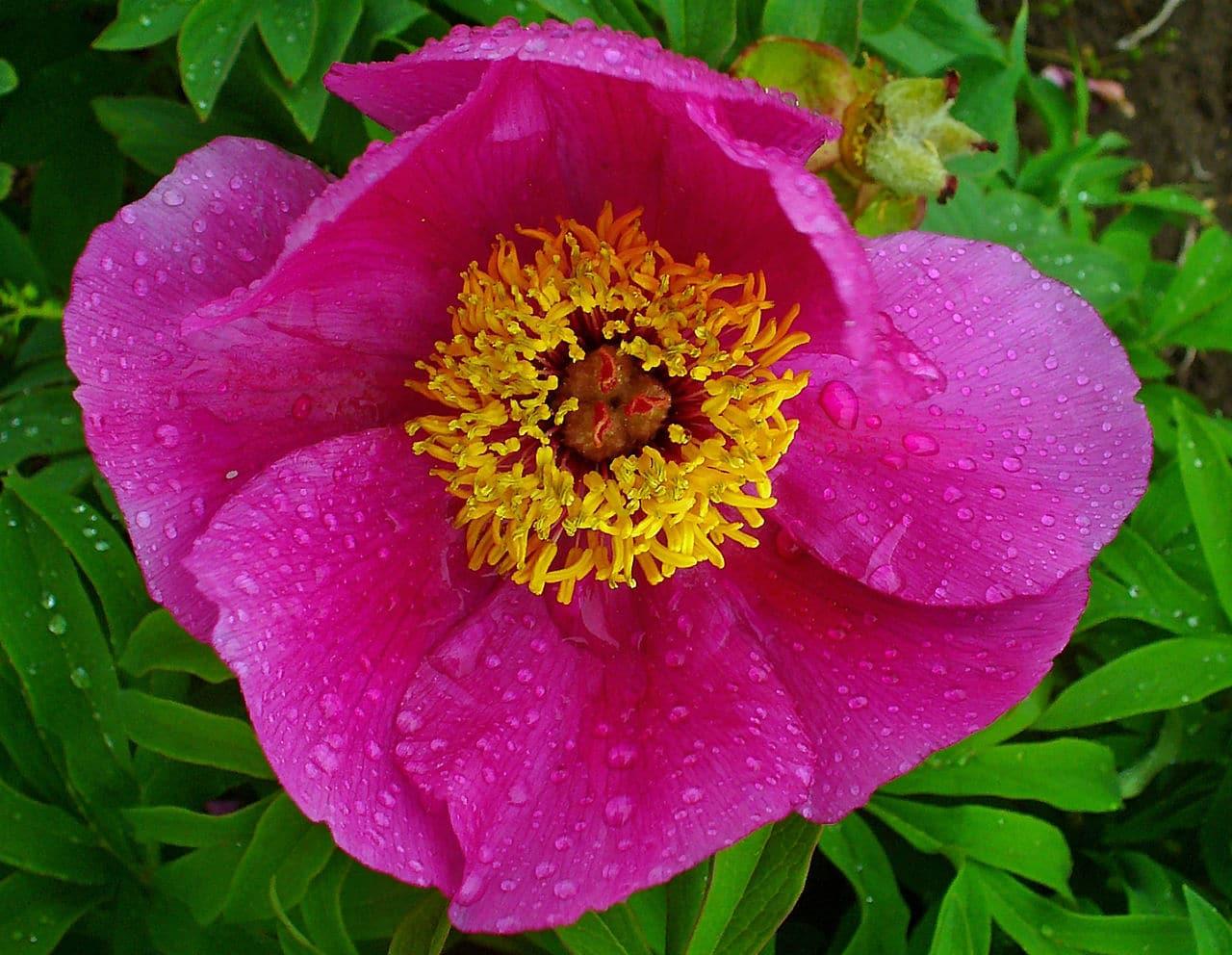 La Paeonia officinalis produce flores rosas
