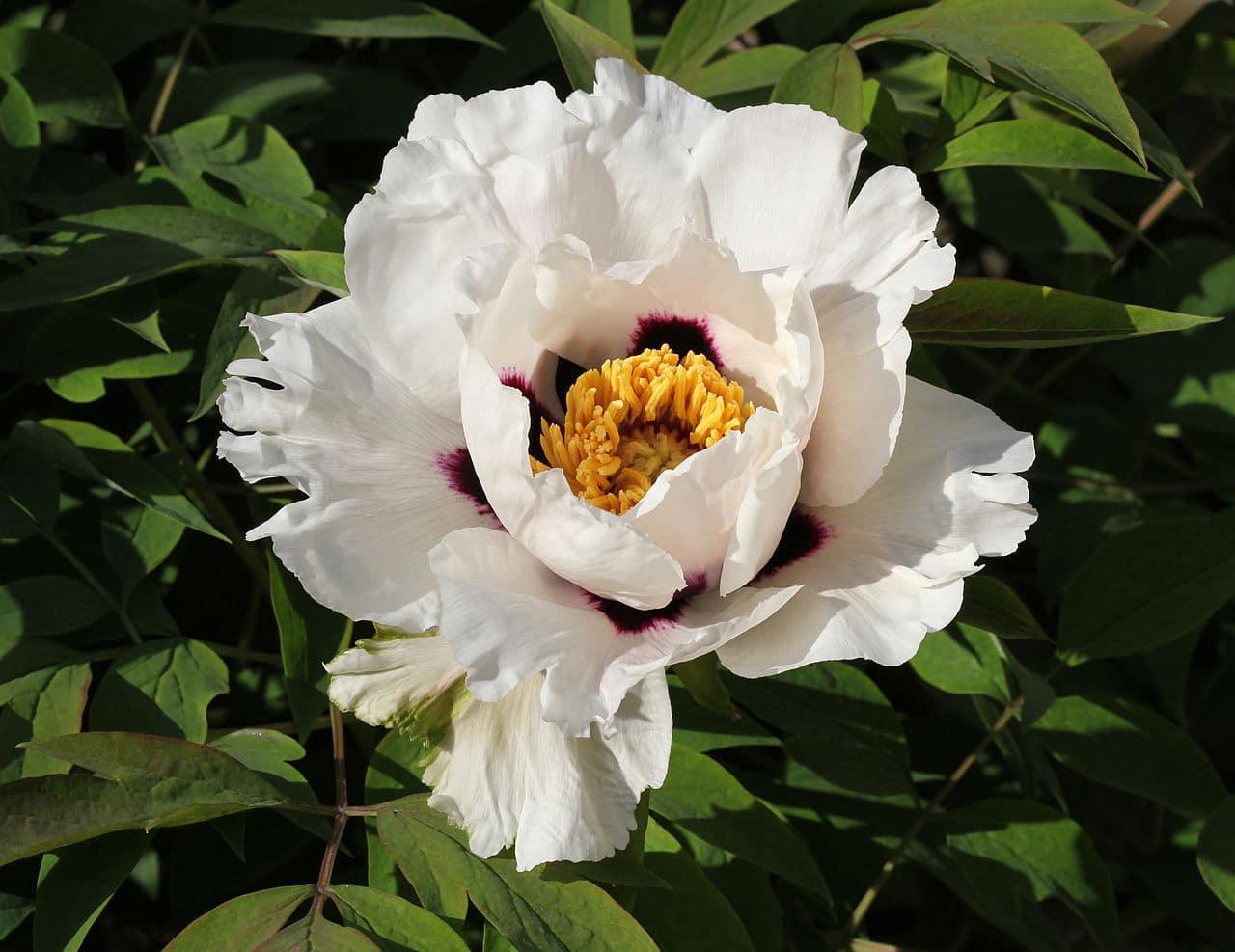 La Paeonia rockii es una planta de flores blancas