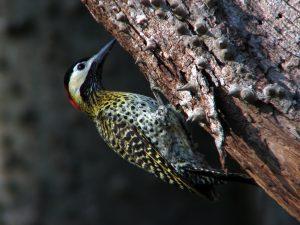 El pájaro carpintero hace agujeros en los troncos