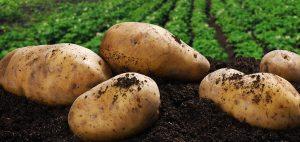 patatas recien cogidas del campo