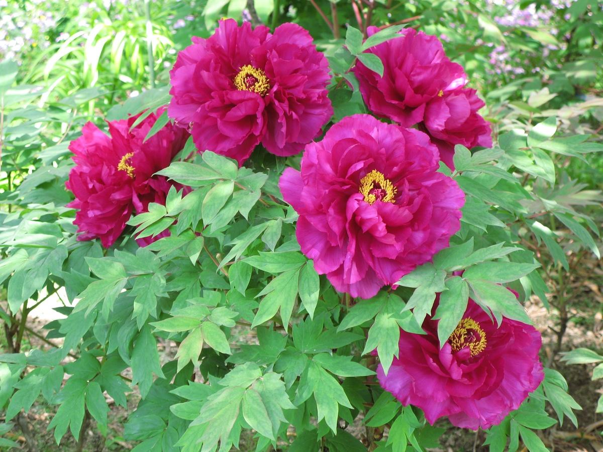 Las peonías son arbustos con flores preciosas