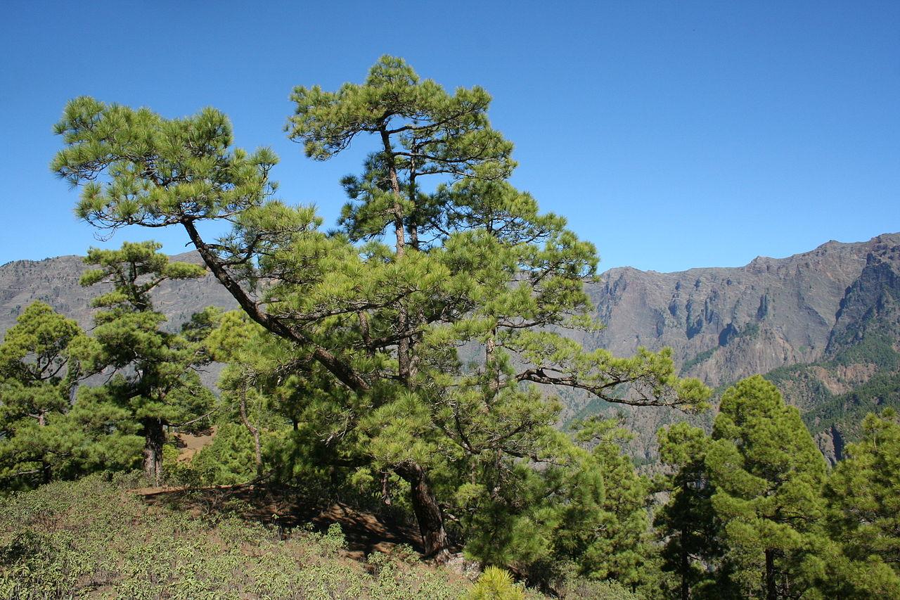 El pino canario es una conífera perennifolia