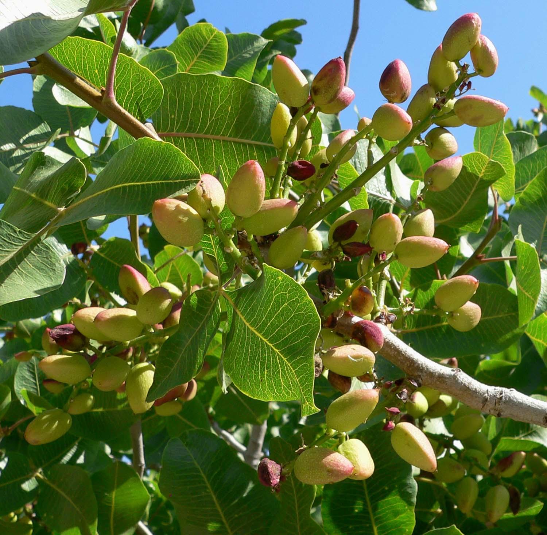 El pistachero es un árbol que produce frutos comestibles