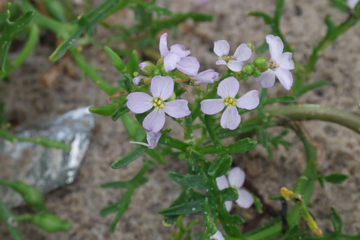 planta con flores pequenas y muy delicadas