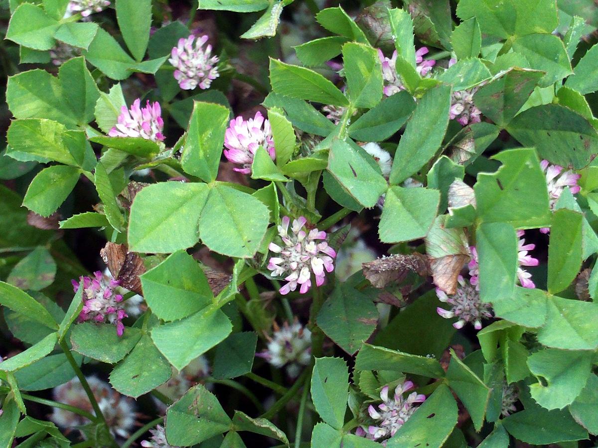 plantas y flores parecidas al trebol rastrero
