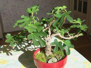 La higuera es un árbol que puede trabajarse como bonsái