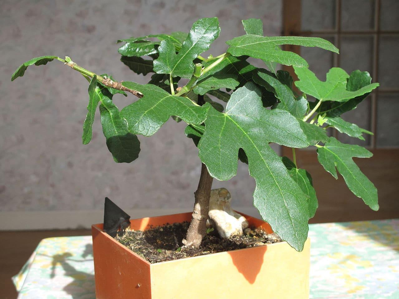 El bonsái de higuera es una planta que quiere sol