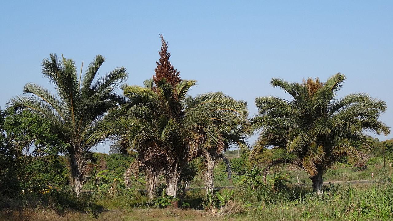 La Raphia australis es una palmera que necesita mucho espacio