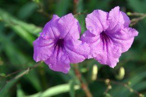 La Ruellia es una planta de flores moradas