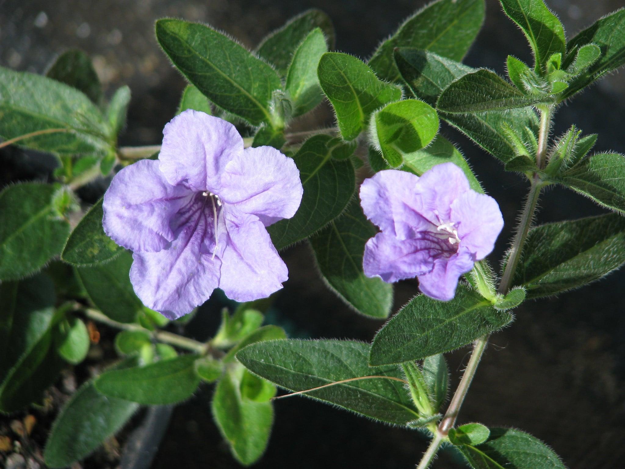 La Ruellia humilis es una planta pequeña