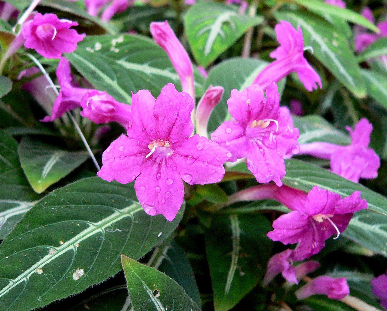 La Ruellia makoyana es una planta de flores rosas