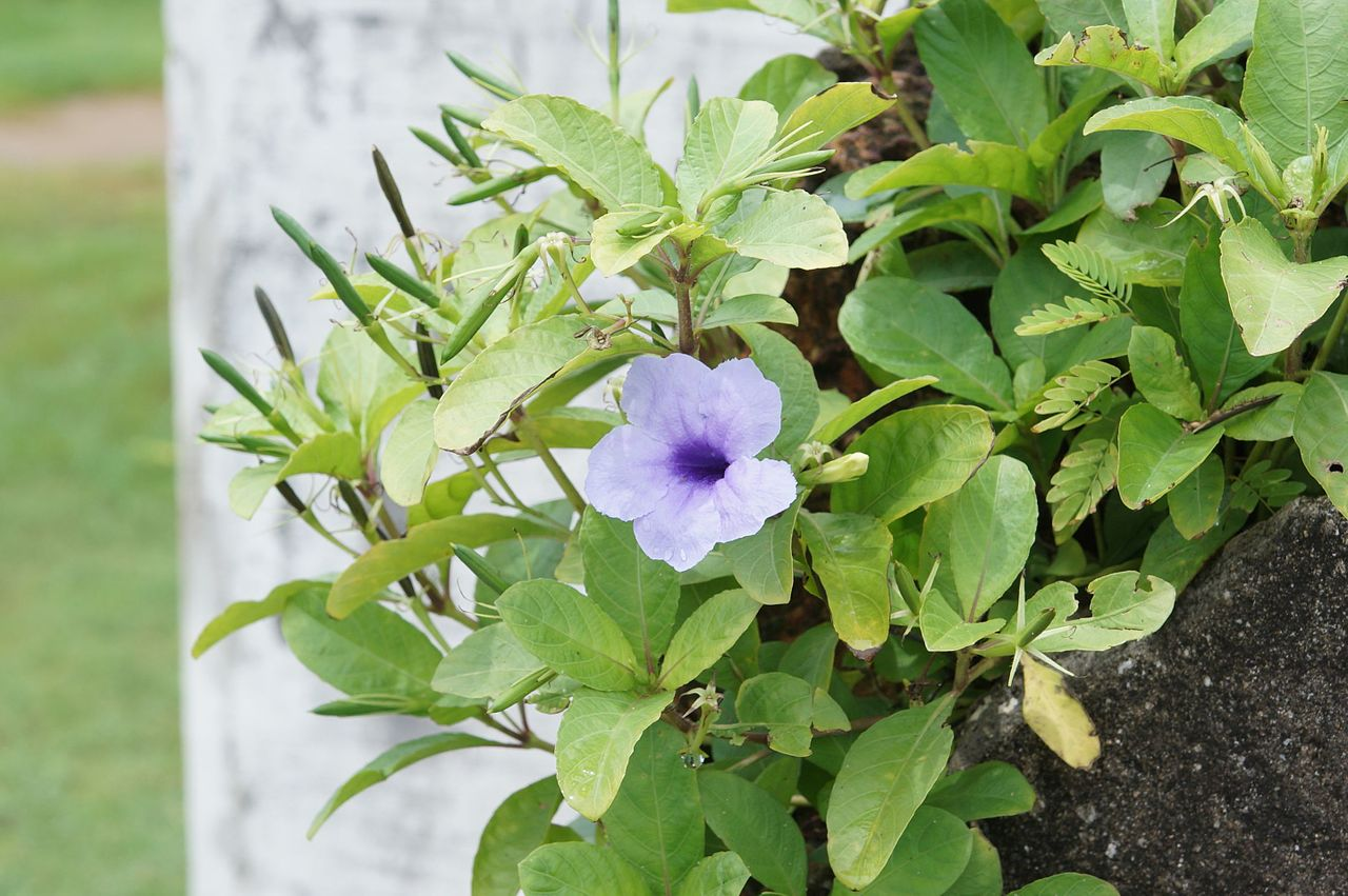 La Ruellia tuberosa tiene flores lilas