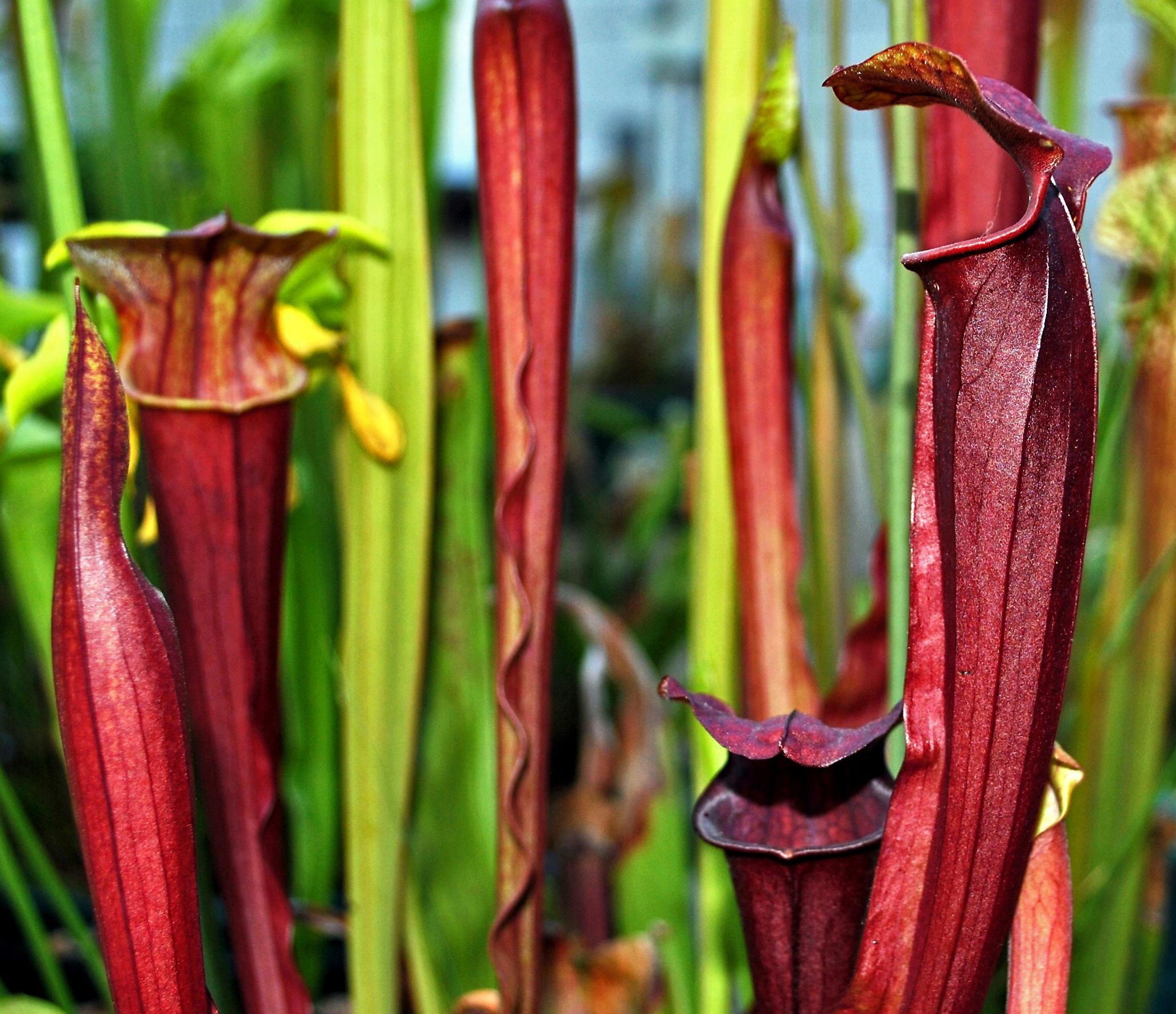 La Sarracenia alata x flava es uno de los híbridos más bonitos
