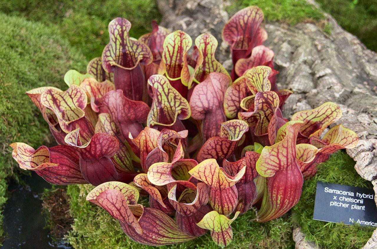 Hay muchos híbridos de Sarracenia, y todos son fáciles de cuidar