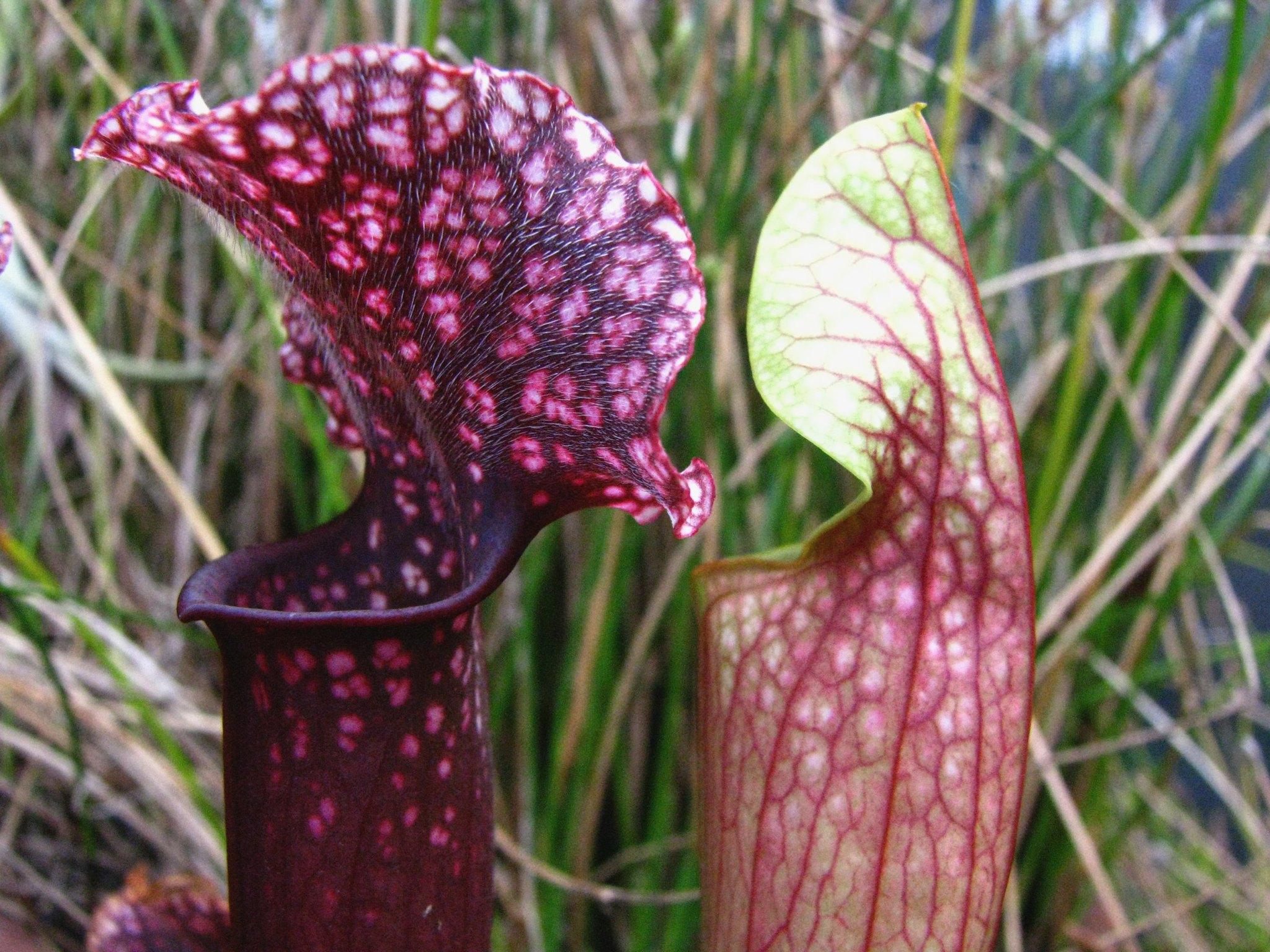 La Sarracenia Judith Hindle es una planta carnívora pequeña