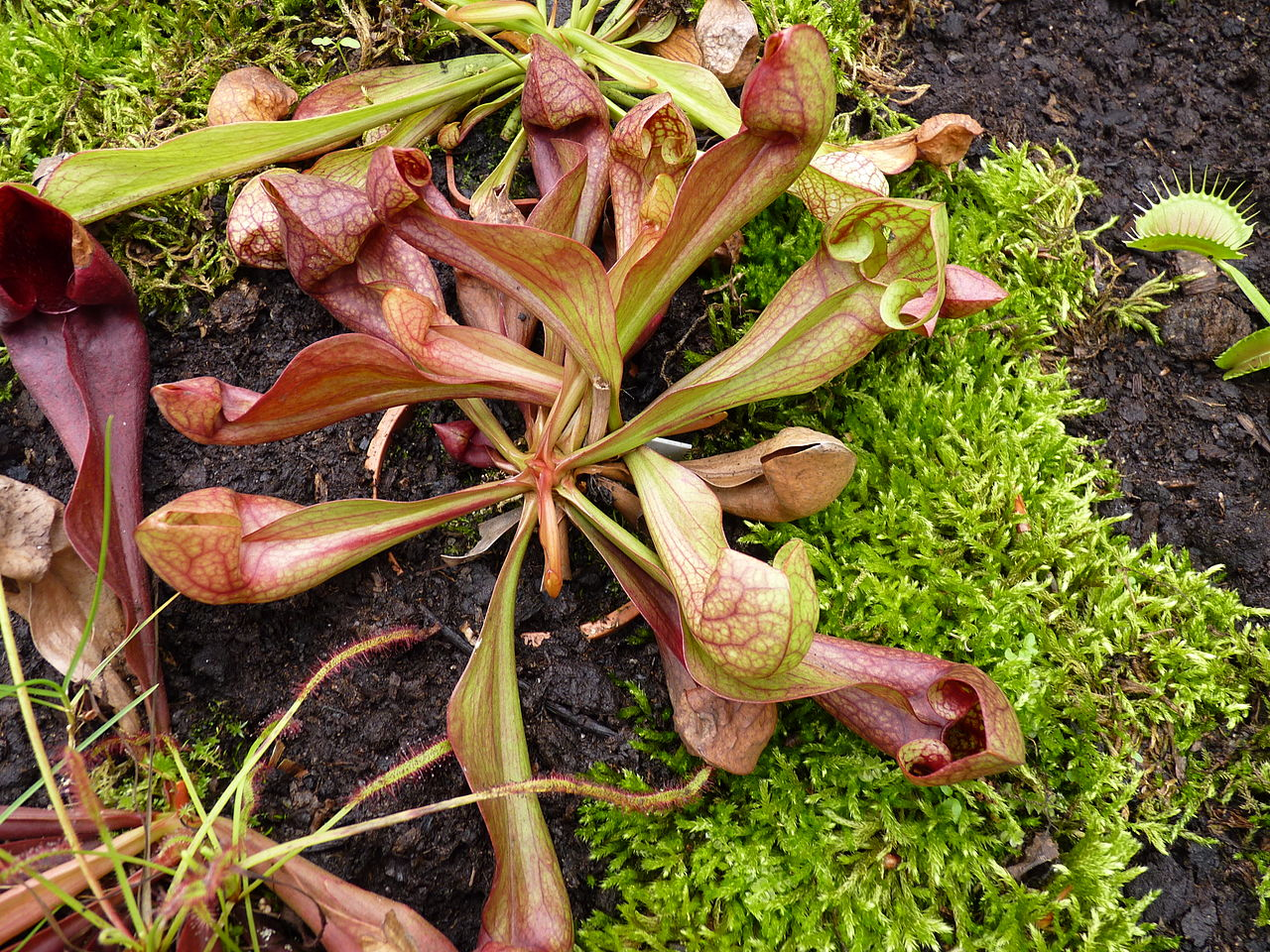Híbrido de Sarracenia psittacina x purpurea