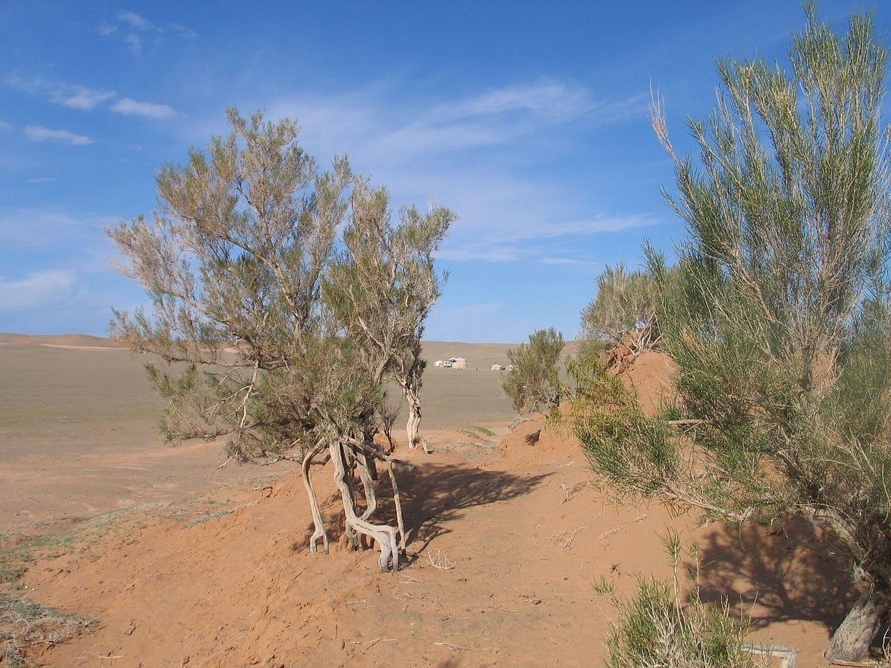 El saxaul es un árbol en peligro de extinción