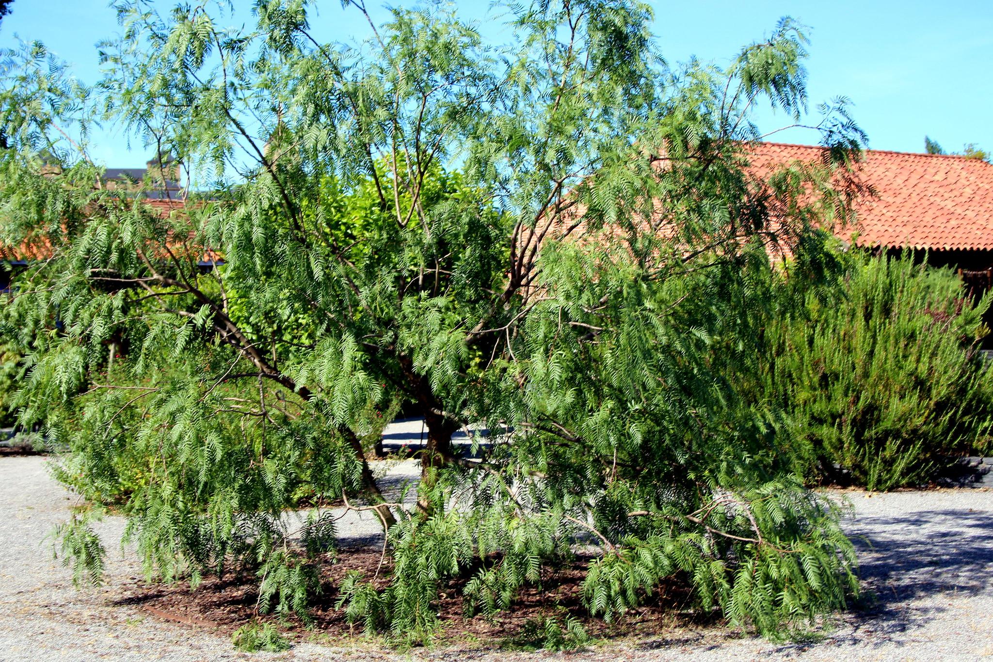 El Schinus molle es un árbol de hoja perenne