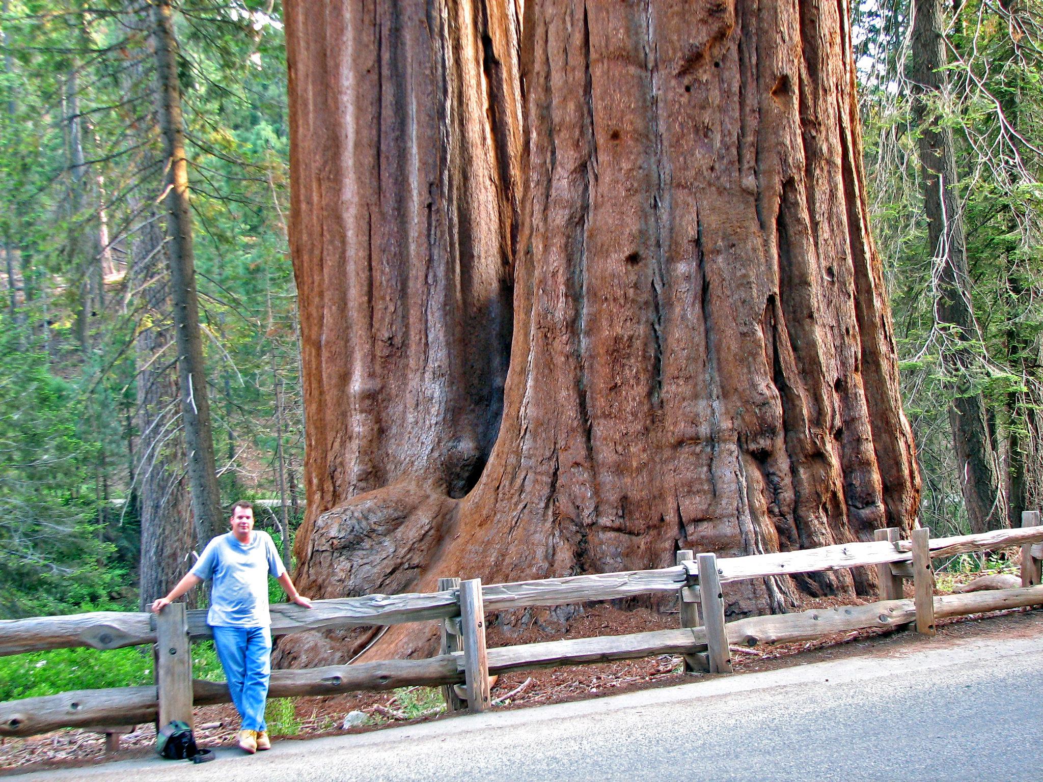 Las secuoyas son árboles que crecen en bosques