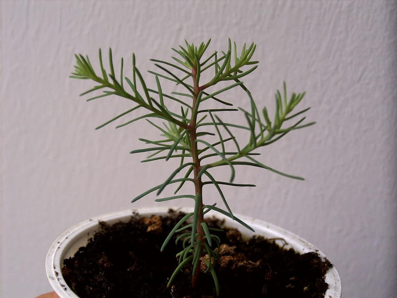 Las secuoyas son árboles de hoja perenne o caduca