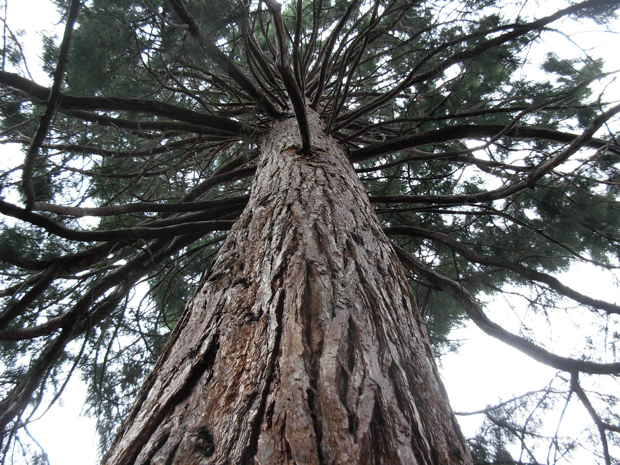 Vista de la Sequoia sempervirens