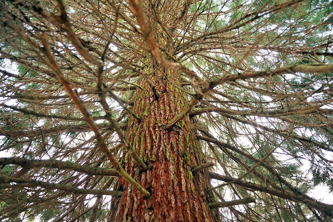 Vista de la Sequoiadendron giganteum