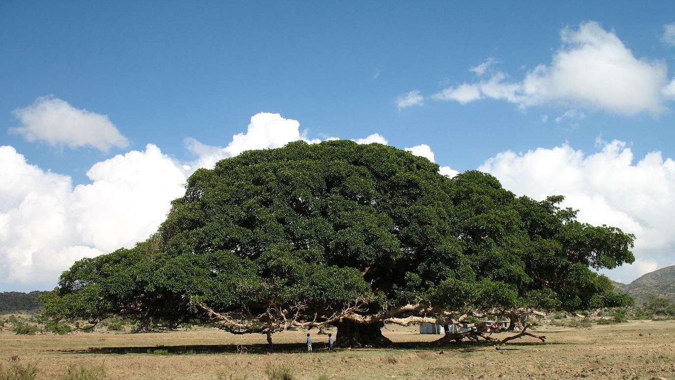 El sicomoro es un árbol con una copa ancha