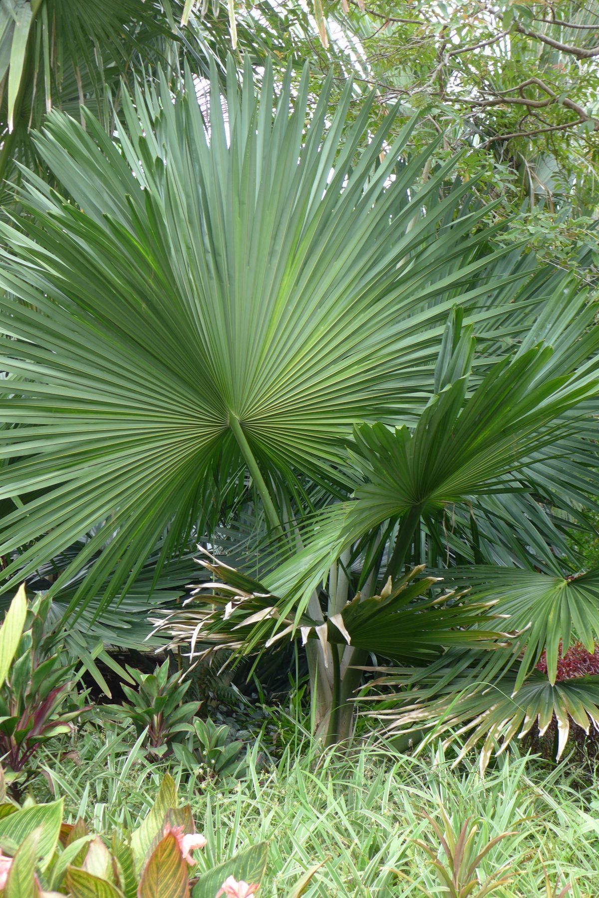 La Tahina spectabilis es una palmera enorme
