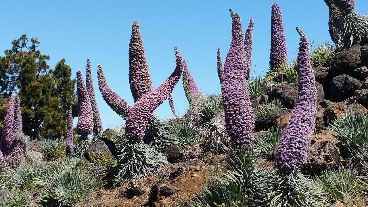 El tajinaste rojo es una herbácea de Canarias