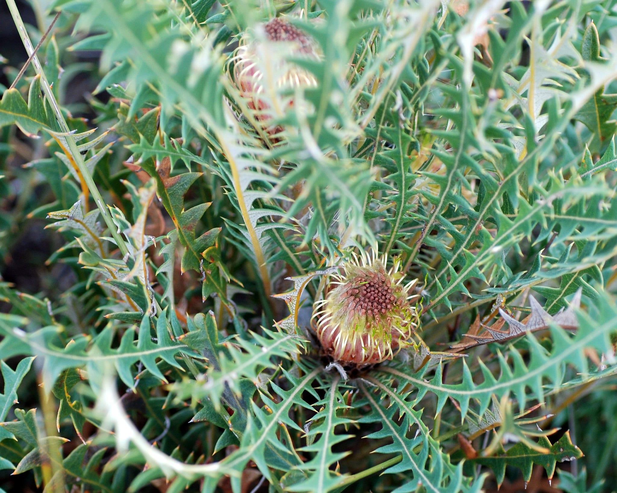 Banksia detalle de las hojas