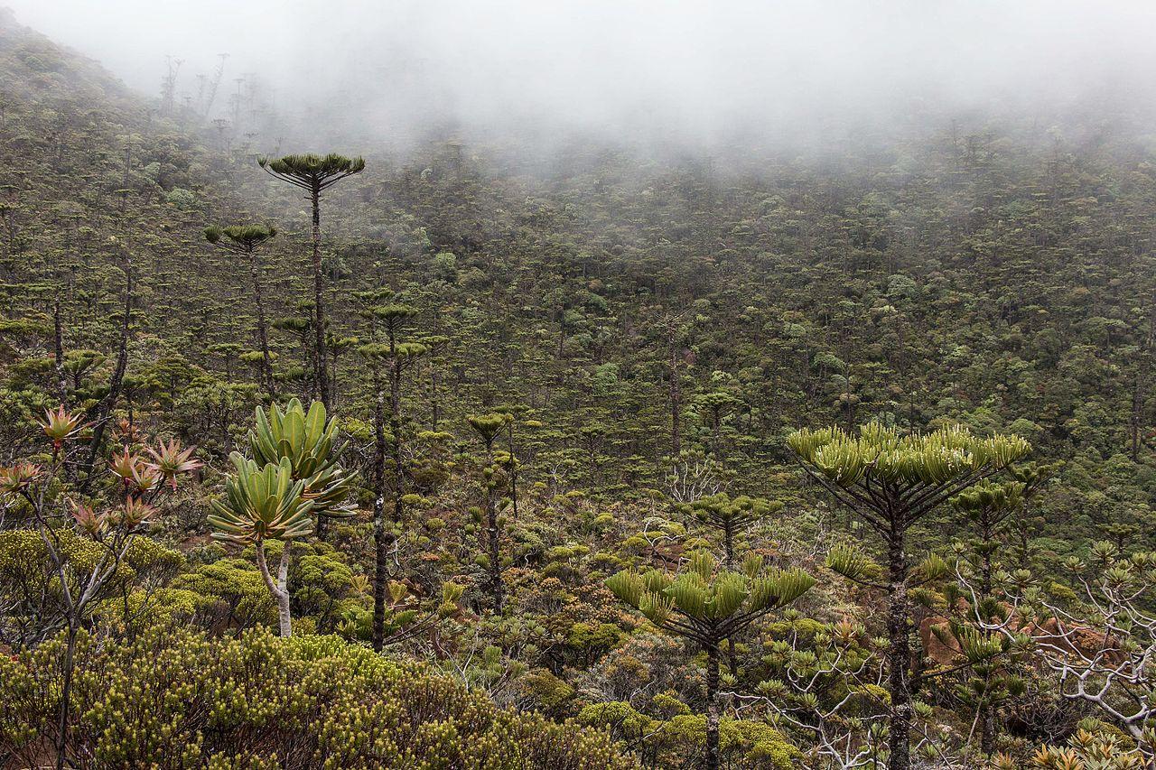 Bosque de araucarias en Nueva Caledonia