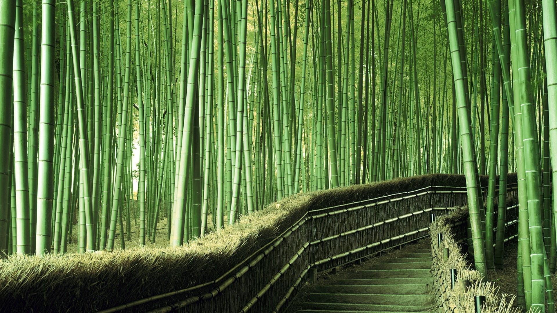 Pasarela en bosque de bambú, las gramíneas que alcanzan mayor tamaño.