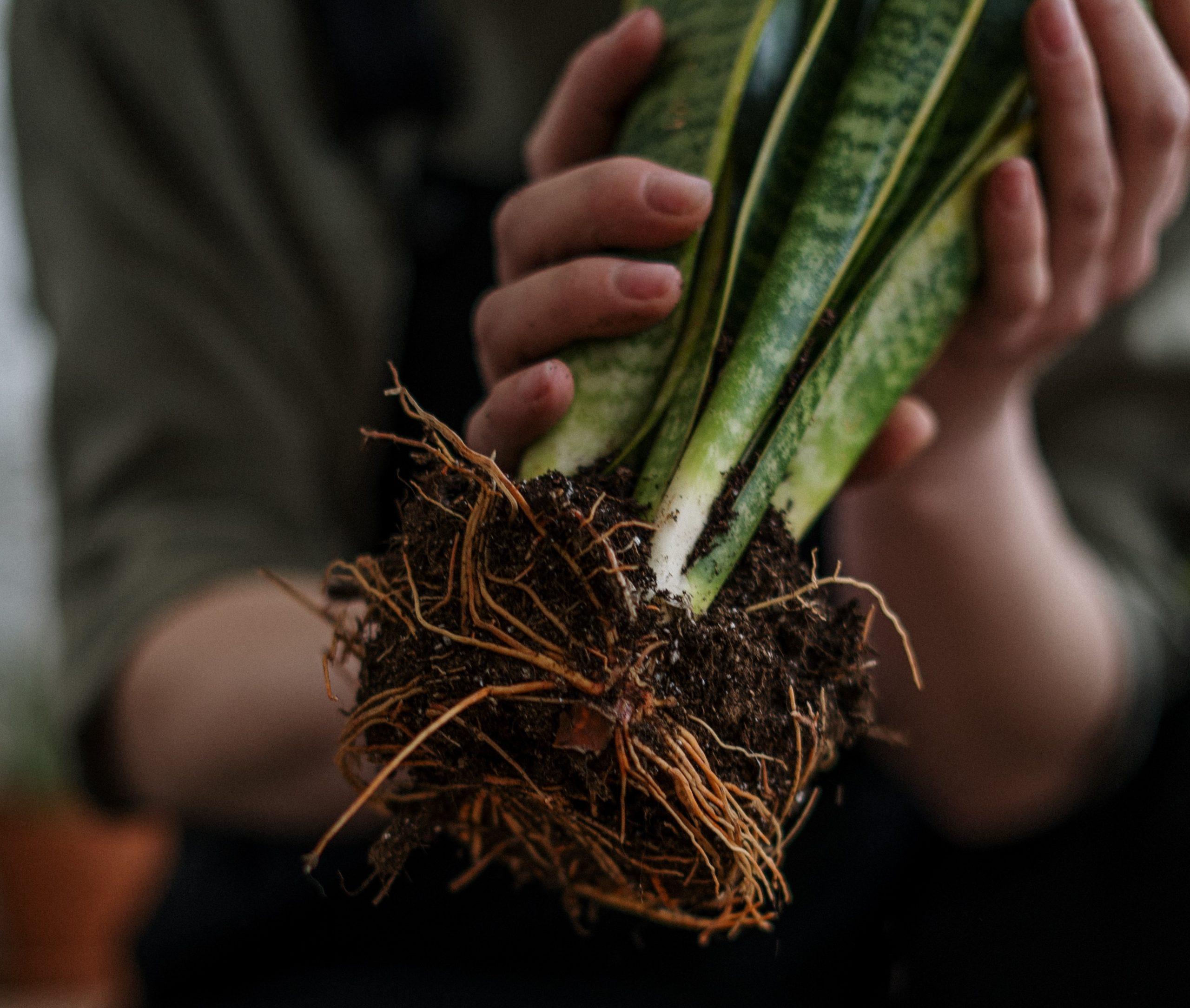 Plantar suculentas no siempre es tarea fácil