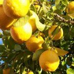 El limonero es un árbol que se reproduce por esquejes